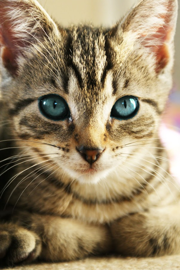 blue eyes by Jodie Newton - Animals - Cats Portraits ( cat, kitten, tabby cat, blue eyes, tabby )