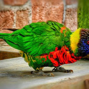 Lorikeet by Arie Shively - Animals Birds (  )