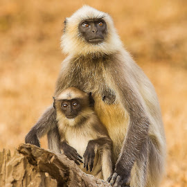 Grey Langur by S Balaji - Animals Other ( grey langur, s.balaji, wild, animals, nature )