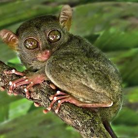 Tarsier by Gary Beresford - Animals Other ( gremlin, tarsier, primate, philippines, eyes )