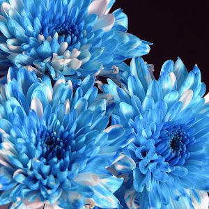 BLUE_CHRYSANTHEMUM_REVERSE.jpg