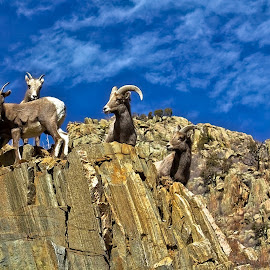 Top of the mountian by Bruce Newman - Animals Other Mammals ( animals, dramatic landscape, rock formations, nature, bighorn sheep, texture,  )