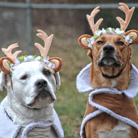Reindogs by Robyn Woodley - Animals - Dogs Portraits ( reindeer, dogs, antlers, pet, christmas, costume, cute, dog, outside, portrait,  )