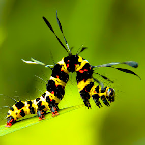 Caterpillar yellow by Hendrik Santoso Gutom - Animals Other