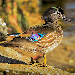 Wooduck basking in the sun by Danny Robbins - Animals Birds