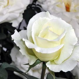DEB#27 by Debanjan Goswami - Flowers Flower Buds