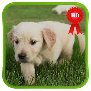 Cute Labrador Puppies LWP