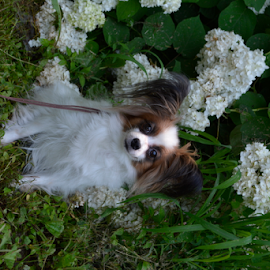 by Deanna Clark - Animals - Dogs Portraits ( butterfly dog, toy dog, papillon, dog )