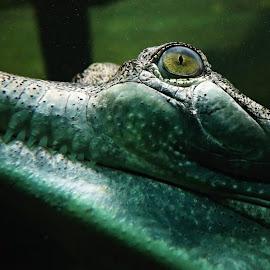 Gharial's eye by Michaela Kliková - Animals Other ( eye, crocodile, glass, face, gharial, gavial, teeth, portrait, water, long,  )