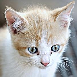 Cream-Toffee by Pieter J de Villiers - Animals - Cats Kittens
