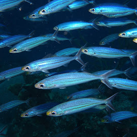 Boga  by David Gilchrist - Animals Fish ( boga, animals, curacao, schooling fish, fish, underwater photography,  )