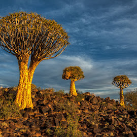 Quiver Tree Forest by Johan Jooste Snr - Landscapes Deserts ( quiver trees, desert, rocky, trees, arrid, namibia )