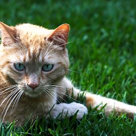 by Susan Pretorius - Animals - Cats Portraits