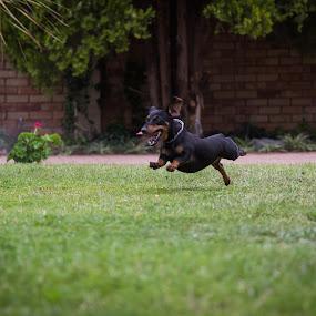 Dachhund in Full Flight by Nardus Taljard - Animals - Dogs Running ( dog running, running dog, jumping dog, dachshund, dog )