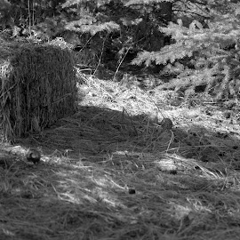 Coming Soon To A Tree Near You by Rebecca Weatherford - Novices Only Objects & Still Life ( b&w, red, hay, trees, decorations, nikon, selectivecolor )