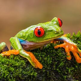 Rana de Ojos Rojos by Erick Castro Alvarado - Animals Amphibians ( frog, anfibio, amphibian, agalychnis callidryas, rana,  )