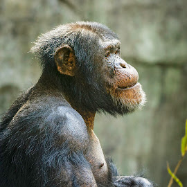 Chimpanzee by Carol Plummer - Animals Other Mammals