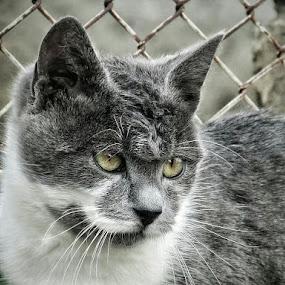Gray One by Zeljko Secujski - Animals - Cats Portraits ( cat, serbia, smile, mustache, posing, kitty, portrait )