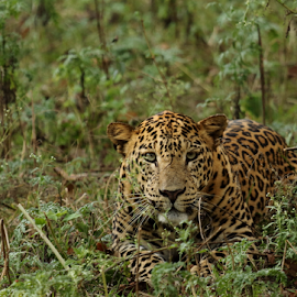 Leopard by Ganesh Namasivayam - Animals Lions, Tigers & Big Cats ( kabini leopard, leopard, panthera pardus )