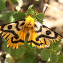 Nuttall's Sheep moth