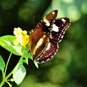 Buterfly by Krishna Murti - Animals Insects & Spiders