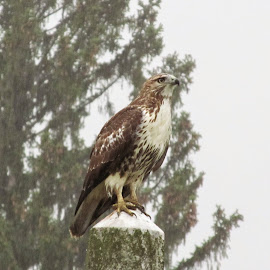 Hawk by William Hayes - Novices Only Wildlife ( cemetery, headstone, troy, ny, hawk )