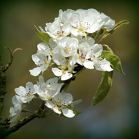 Pear Blossom by Caroline Beaumont - Flowers Tree Blossoms ( pear blossom )
