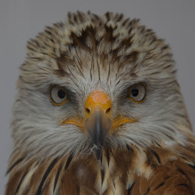 Red Kite (Those Eyes) by Stuart Walker - Animals Birds (  )