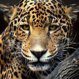 Jaguar Magic by Shawn Thomas - Animals Lions, Tigers & Big Cats