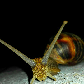 The big snail by Alexandra Chirica - Animals Amphibians ( #mare, #frumos, #snail, #big, #melc )
