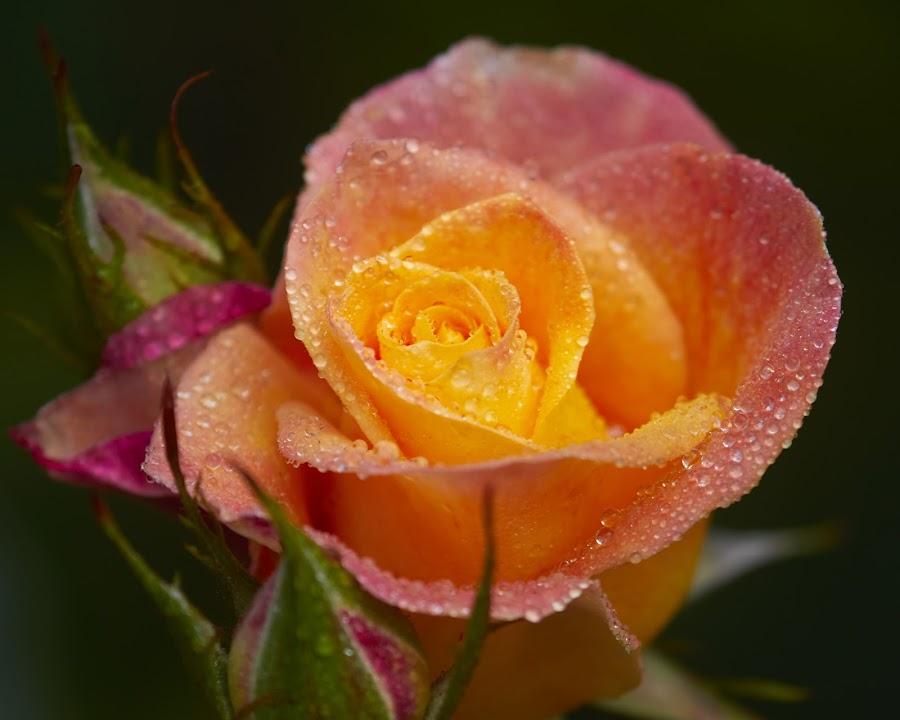 0 Rose 9708~ by Raphael RaCcoon - Flowers Single Flower