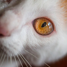 Splodgey's Right Eye by Fergus Ford - Animals - Cats Portraits ( kitten, macro, cat, close up, crop, eye )