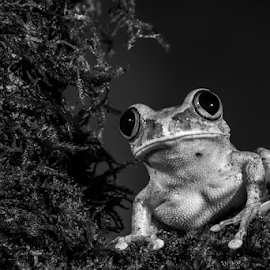 Frog by Garry Chisholm - Black & White Animals ( macro, frog, nature, amphibian, garry chisholm )
