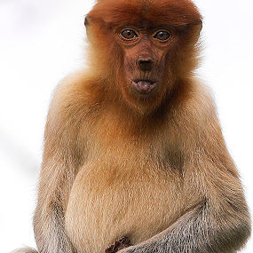 Proboscis Monkey by Zulkifli HAL - Animals Other Mammals ( animals )