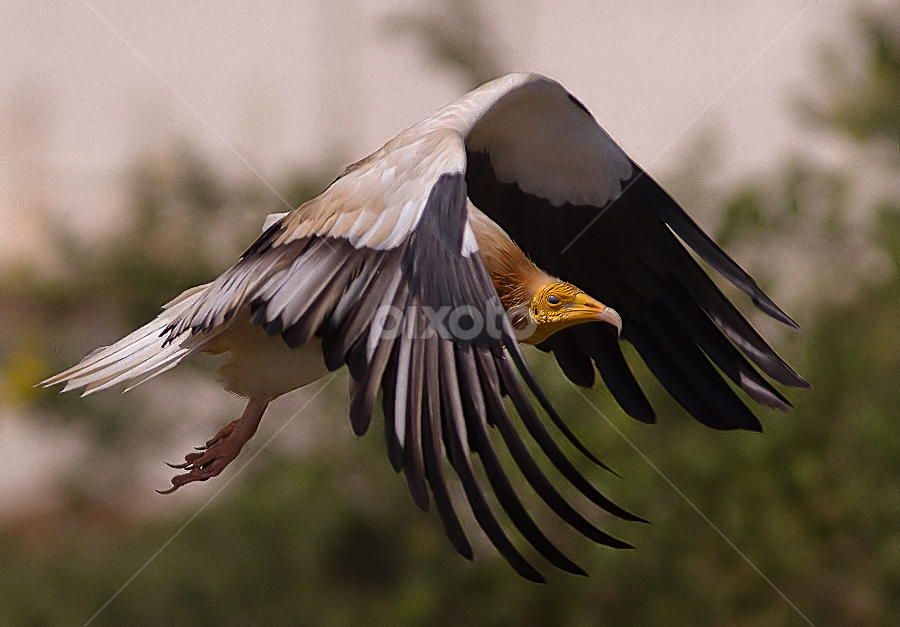 Vulture Freeze by Jineesh Mallishery - Animals Birds ( bird, wildlife, jineesh, raptor )