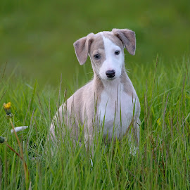 whippet pup by Marius Birkeland - Animals - Dogs Puppies ( puppies, pup, puppy, dog, whippet )