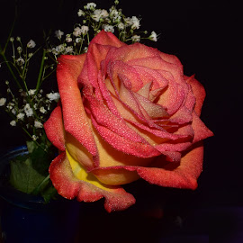 Pink And Yellow Rose by Millieanne T - Flowers Single Flower