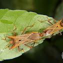Horned leaf-footed bug