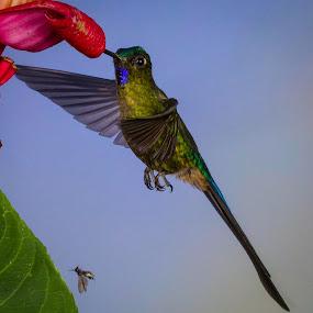 Violet-tailed Sylph by Mike Trahan - Animals Birds ( bird, nature, ecuador, tandayapa, violet-tailed sylph, hummingbird )