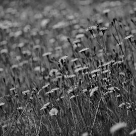 Dandies  by Todd Reynolds - Black & White Flowers & Plants