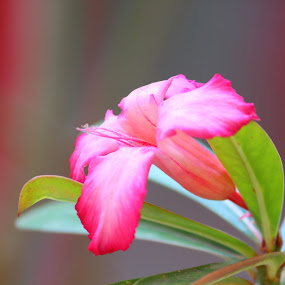 by Sudipta Ghosh - Flowers Single Flower