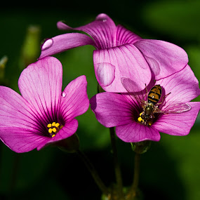 Oxalis with Bee 9486 by D. Jan Anderson - Nature Up Close Flowers - 2011-2013 ( plant, bee, botany, green, bloom, entymology, irish, insect, blossom, shamrock, pink, oxalis_crassipes, flower )