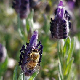 Lavender and Bee by Sarah Harding - Novices Only Flowers & Plants ( plant, nature, bee, novices only, garden, flower )