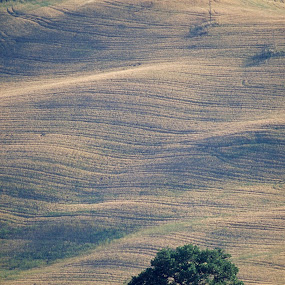 Lone tree on Tuscan hill by Gale Perry - Landscapes Prairies, Meadows & Fields ( hill, undulating, tuscany, tree, green, shadow, summer,  )