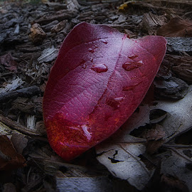 Red leaf fisheye by Ronny Mariano - Nature Up Close Leaves & Grasses