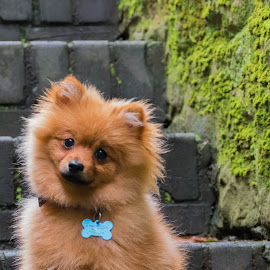 Pomeranian Puppy by Jenny Trigg - Animals - Dogs Puppies ( castle, puppy, dog, portrait, pomeranian )