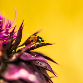 ladybug by Vladimir Nagalin - Animals Insects & Spiders ( up close, macro, color, ladybug, insect )