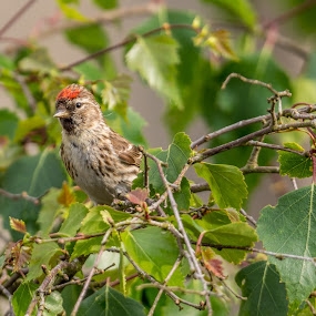 Redpoll by Alistair Forrest - Animals Birds ( nikon, sigma, nature, redpoll, bird, tree )