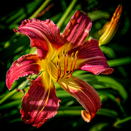 vancouver lily by Lennie Locken - Flowers Single Flower