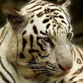 White Tiger by Bhavya Joshi - Animals Other Mammals ( tiger )